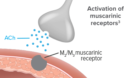 Diagram illustrating acetylcholine stimulating muscarinic receptors